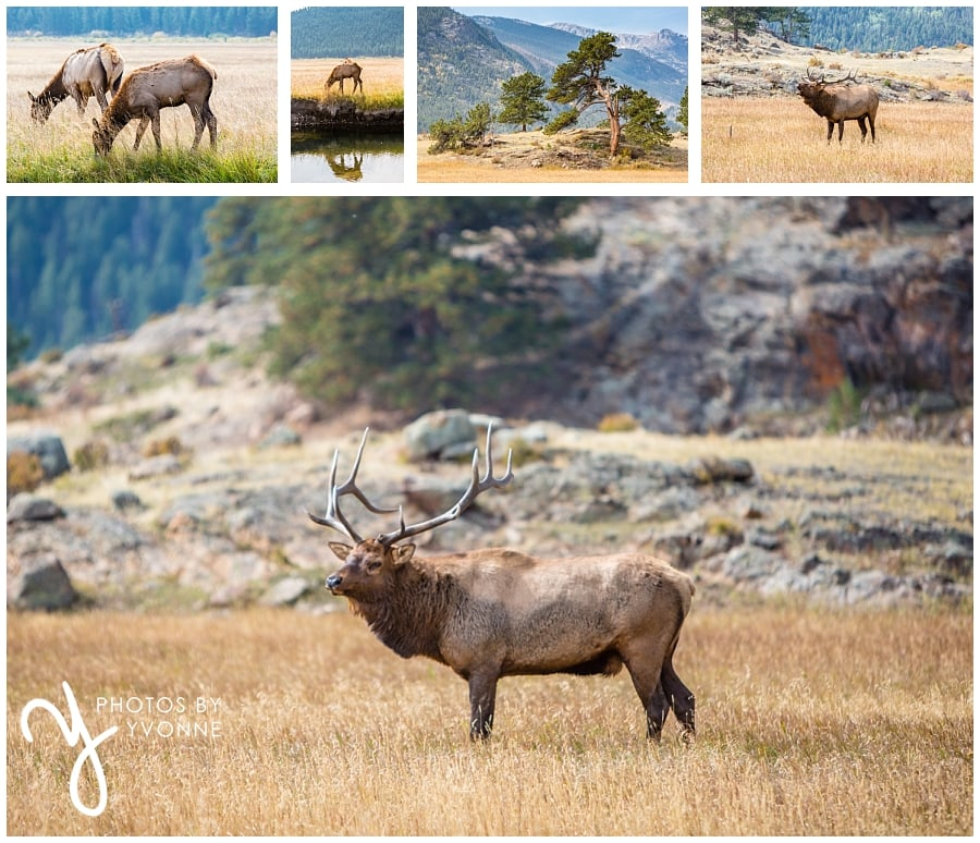 our short trip to Rocky Mountains National Park elk mating