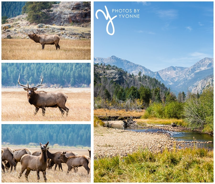 our short trip to Rocky Mountains National Park elk