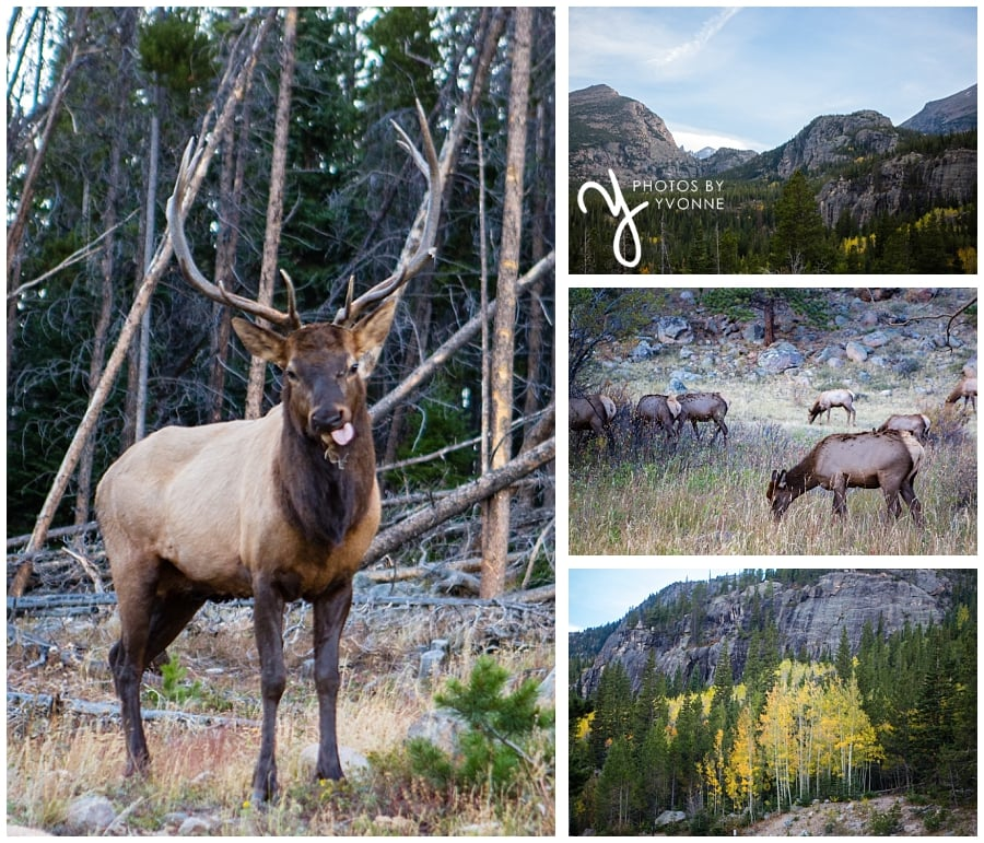 our short trip to Rocky Mountains National Park - elk